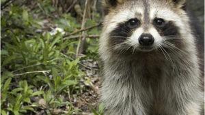 Raccoon - Animal Insights