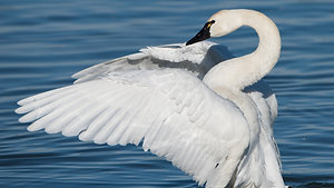 Swan - Animal Insights