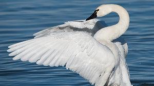 Swan - Animal Insights
