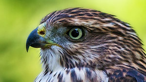 Hawk - Animal Insights