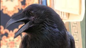 Raven - Animal Insights