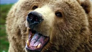 Bear - Animal Insights