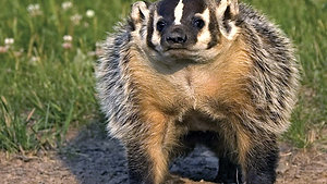 Badger - Animal Insights