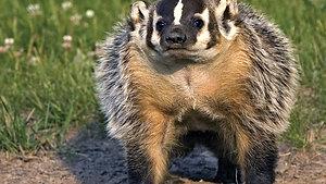 Badger - Animal Insights