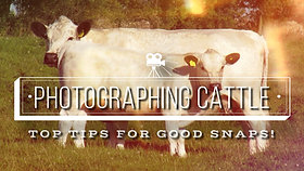 HOW TO   PHOTOGRAPHING CATTLE