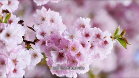 櫻花 Sakura