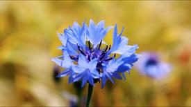 矢車菊 Cornflower