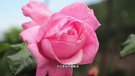 玫瑰 Rose
