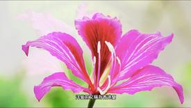 洋紫荊 Bauhinia blakeana