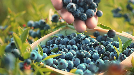 """Oxford Blueberries """"Wild Country"""""""