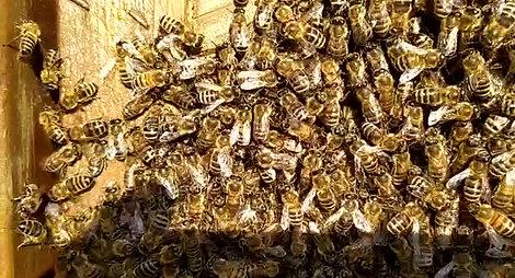Der Schwänzeltanz der Bienen
