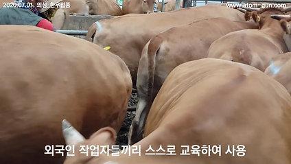 2020年7月1日韩国牛肉接种义城外国人