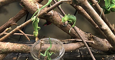 Juvenile Veiled Chameleons eating from a container