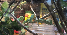 Baby Veiled Chameleons eating from a container