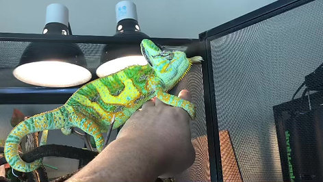 Veiled Chameleons are friendly