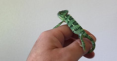 Baby Veiled Chameleon walking on hand