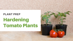 Prepping Tomatoes for Planting