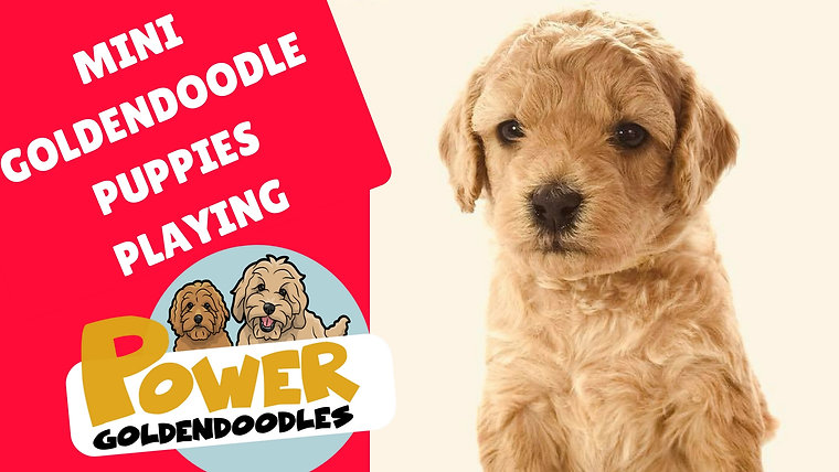 Goldendoodle Puppies | Power Goldendoodles | powergoldens.com