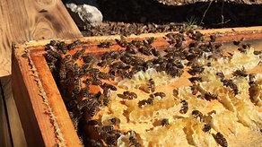 Réintroduction des abeilles au verger conservatoire