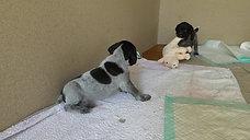 Arjan und Askia 4 Wochen alt