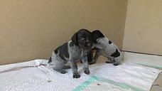 Askia, Ayla und Artus 4 Wochen alt