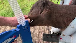 How to implant calves with Component E-C with Tylan