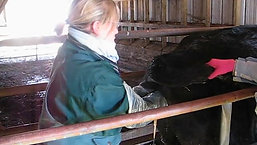 How to manually dilate a cow