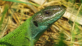 Female lacerta bilineata with beautiful colors, close-up on mossy rock