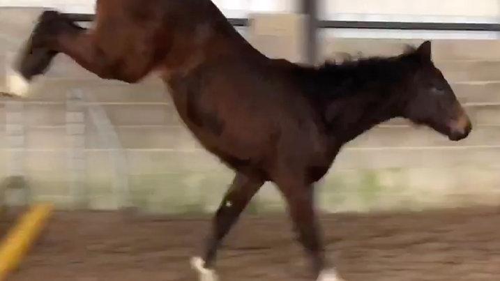 CC Stud Key to Success foal 2019