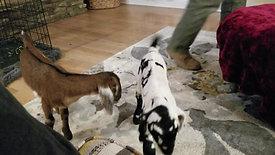 The bottle baby goats meet!