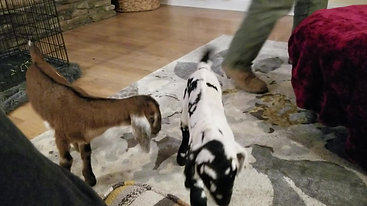 The bottle baby goats meet!
