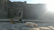 Pompeii dogs on street 02