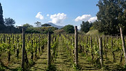 Pompeii Vineyards