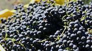 Harvest Day | Cabernet Sauvignon