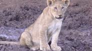Phinda Lions
