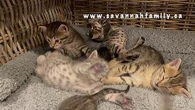 Les bébés de Bagheera savannah F7