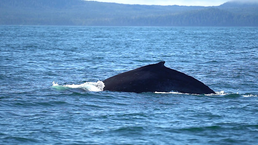 A WHALE'S SONG EXPEDITION - SITKA WHALE WATCHING TOUR
