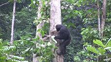 Schimpanse öffnet Nest von Honigbienen /// Chimpanzee opens nest of honey bees