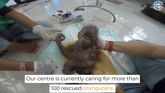 Our Orangutan Project