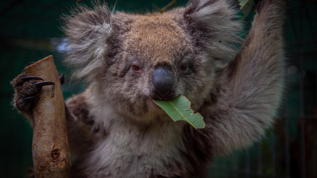 The Last Koalas