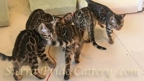 The Milkins. Bengal kittens