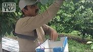 Cerezas Amarillas, frutas especiales en el estado de Washington