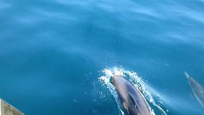 dolphin_dana_point