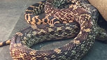 Victor (Non-Venomous Bull Snake)