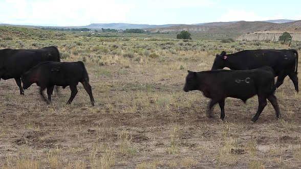 Registered & Commercial Cows