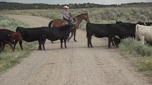 Bred Yearling Heifers