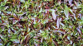 古茶山树叶做菜