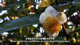 古茶山的古树茶花有神奇功效