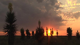 Amazing Yuccas