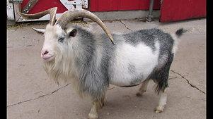 Goat Gully